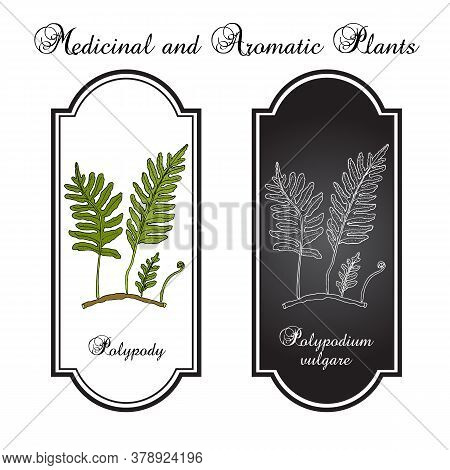Common Polypody Polypodium Vulgare , Medicinal Plant. Hand Drawn Botanical Vector Illustration