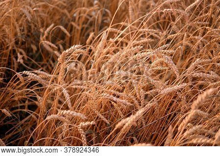 Ripe Ears Of Wheat Oats On A Ripe Meadow Illuminated By The Sun