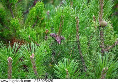 Raw Conifer Cone On A Branch