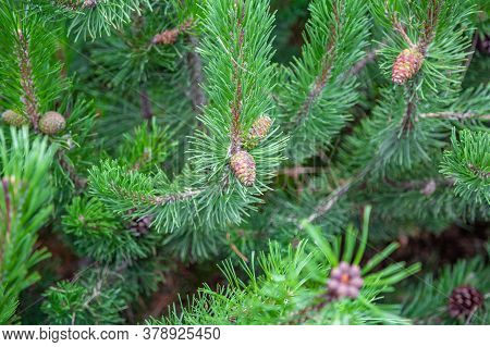 Raw Conifer Cone On A Branch