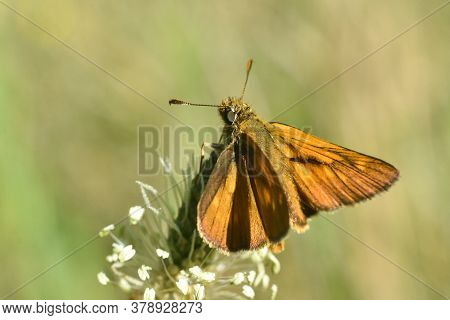 Large Skipper - Ochlodes Sylvanus. Little Orange Butterfly In Meadow