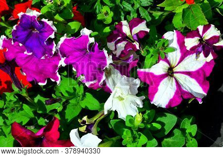 The Natural Background Consists Of Several Petunia Flowers Of Different Colors.