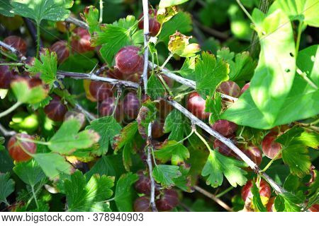 Gooseberry. Ripe Gooseberry Berries Hang On A Branch Of A Bush. Fruit Shrub With Mature Red Berries.