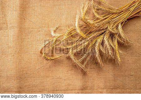 Rye Field. Whole, Barley, Harvest Wheat Sprouts. Wheat Grain Ear Or Rye Spike Plant On Linen Texture