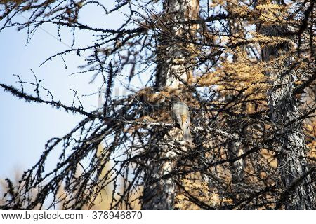 Siberian Jay Is A Bird Of The Corvidae Family, Sitting Among The Branches And Needles Of A Larch Tre
