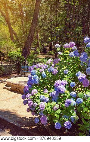 Beautiful Flowers Of Hydrangea ( Hydrangea Macrophylla ) In Park. Montenegro, View Of Large Town Par