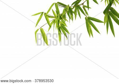 Close Up Bamboo Leaves Isolated On White Background With Clipping Paths For Graphics Design Or Wallp