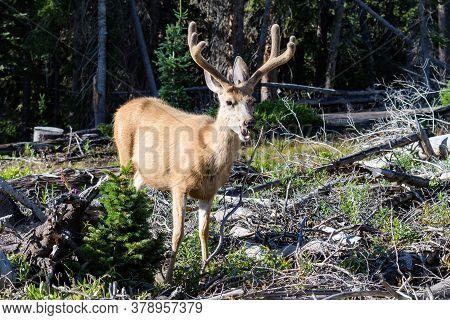 Wildlife Of Colorado. Mule Deer Buck In Velvet In The Rocky Mountains Of Colorado.