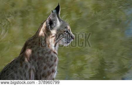 A Beautiful Young Bobcat Sits Quietly By A Small Pond.