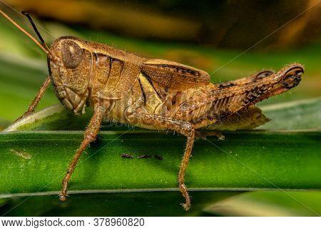 Grasshopper On Edge Of Plant Stem Side View Macro