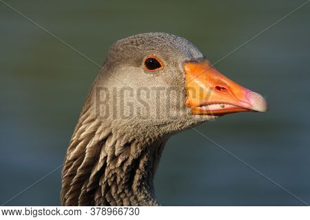 The Greylag Goose (anser Anser) Portrait .portrait Of A Wild Goose With An Orange Beak.