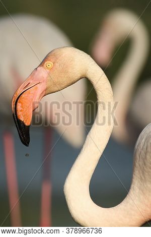 The Greater Flamingo (phoenicopterus Roseus) Portrait Of A Flamingo With Others In The Background.