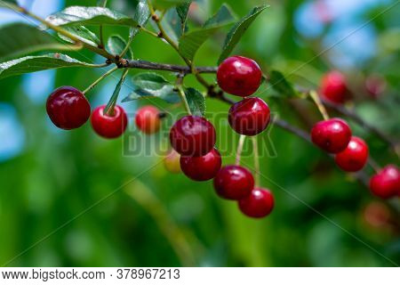 Cherry Hanging On A Branch Of A Cherry Tree. Ripe Cherries Among The Green Leaves Of The Cherry Tree