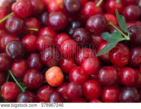 Close Up Of Pile Of Ripe Cherries With Stalks And Leaves. Large Collection Of Fresh Red Cherries.