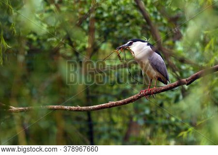 The Black-crowned Night Heron (nycticorax Nycticorax), Commonly Night Heron, Birds On The Branch Wit