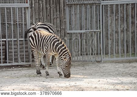 Small Baby Zebra At The Zoo. A Zebra Cub