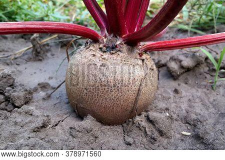 Beetroot (beta Vulgaris) In The Garden . Vegetable  Close Up.