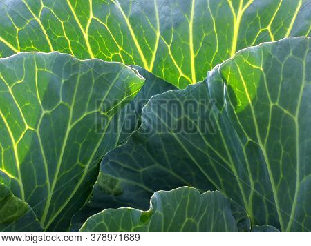 Fresh Large Green Cabbage Leaves With Veins In The Sunlight. Vegetable Close Up.