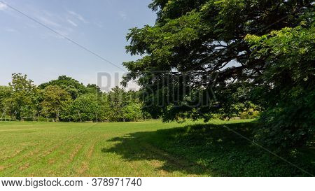 The Greenery Leaves Branches Of Big Rain Tree Sprawling Cover On Green Grass Lawn Under Blue Sky And