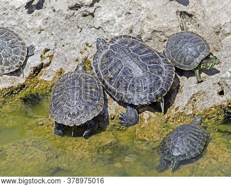 Red-eared Turtles Basking And Swimming In The Sun