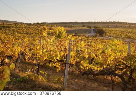 Autumn Sunset In The Vineyards. View Of Rows Of Yellow And Red Vines. In The Background, A Road With