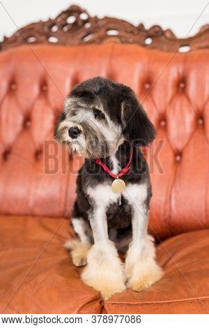 A Little Black Bichon Lion Muzzle In Camera. Black Puppy Sit On Brown Armchair
