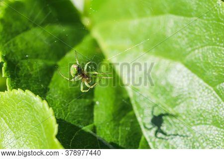Crab Spider, Misumena Vatia On Its Cobweb