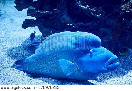 Napoleon Fish Swimming On The Sea Sand, Blue, Bright, Large
