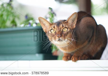 Abyssinian Cat In Collar, Sitting On The Terrace . High Quality Advertising Stock Photo. Pets Walkin