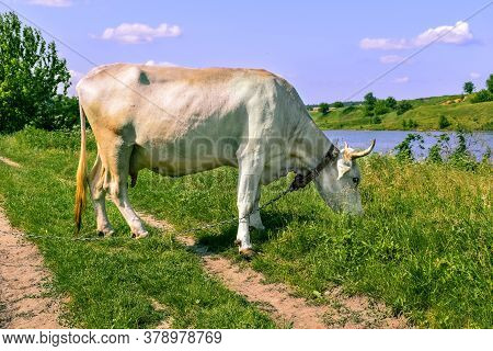 Big White Beautiful Horned Cow Grazes On A Green Juicy Meadow On A Sunny Spring-summer Day, Side Vie