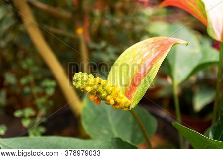 Anthurium Tropical Exotic Flower In Green Jungle