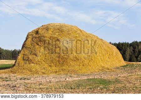 Sharp Stalks Of Stubble After Harvesting Wheat In Agricultural Fields, Straw Is Collected In A Large