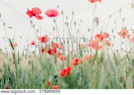 Field Of Blooming Red Poppies. Beautiful Fields Of Red Poppy. Red Poppies In Sunlight. Red Poppies I