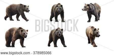 Set Of Brown Bears Isolated On White Background. Collage Of A Dangerous Predator Bear. Banner. Copy