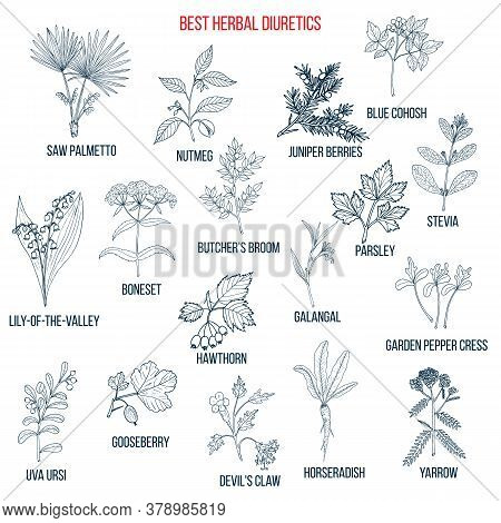 Best Diuretic Herbs Set. Hand Drawn Vector Illustration