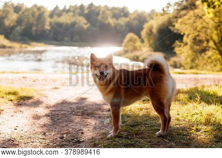 Akita Inu Dog On A Walk In The Park . Beautiful Dog. Summer Walk With The Dog. Dog On The Grass. Dog