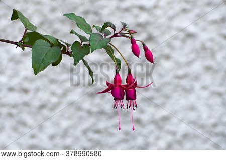 The Beautiful Fuchsia Sprig With Green Leaves In The Blurred Gray-white Background
