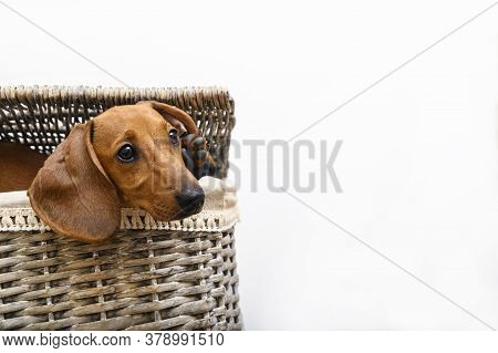 A Red-colored Dachshund Lies In A Laundry Basket With His Head Protruding From Under The Basket Lid