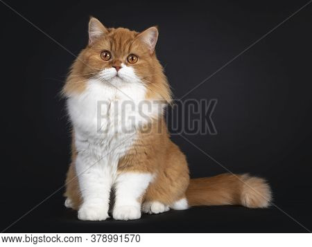 Adorable Red With White British Longhair Cat, Sitting Facing Front. Looking To Camera With Big Orang