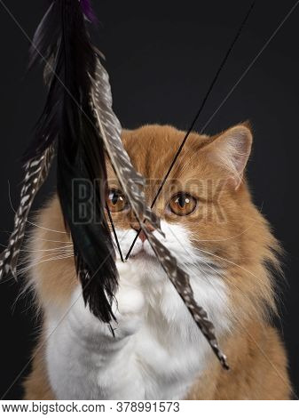 Head Shot Of Adorable Red With White British Longhair Cat,playing With Feather Toy. Looking Throught