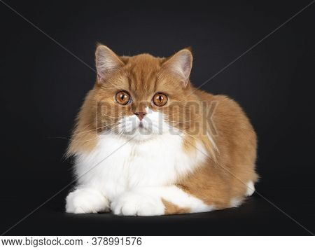 Adorable Red With White British Longhair Cat, Laying Down Facing Front.  Looking To Camera With Big