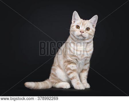 Cute Creme Tabby American Shorthair Cat Kitten, Sitting Side Ways. Looking At Camera With Orange Eye