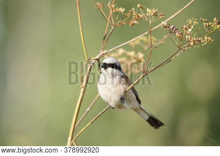Red-backed Shrike (lanius Collurio) Sits On A Branch