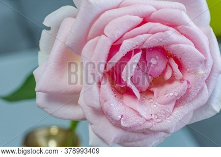 Macro Image Of A Pink Rose With Droplets, Pink Rose With Water Droplets.