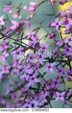 Pink Flowers Of Australian Native Boronia Ledifolia, Family Rutaceae. Growing In Woodland In The Roy