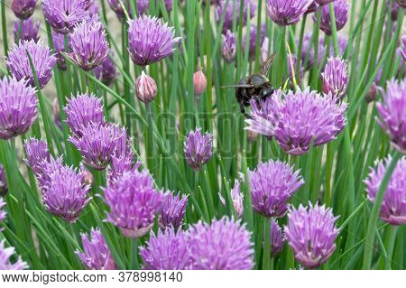 A Small Lawn With Succulent Violet Plants, Where A Black Shaggy Bumblebee Collects Nectar From Brigh