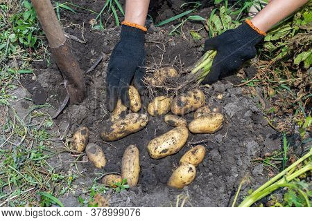 Harvesting Potatoes. Fresh Potatoes Dig From Ground With Spade. Fresh Potato
