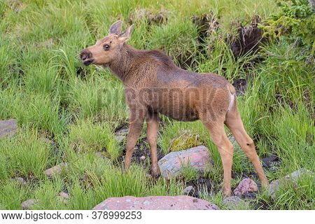 Colorado Moose Living In The Wild. Moose Calf