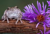 A gray tree frog is sitting next to an aster flower on a vine. poster