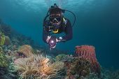diver examining a healthy reef system in the philippines poster